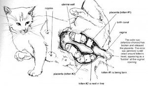 When Can I Spay My Cat After Giving Birth