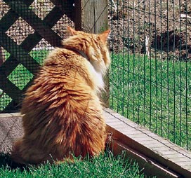 cat in outdoor enclosure. image courtesy of PAWS