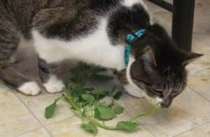 Thomas sniffs some catnip