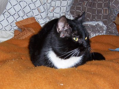 Jim, a black cat with white whiskers and bib, sitting on a couch