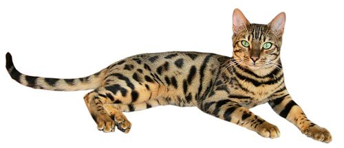 Brown spotted tabby Bengal cat