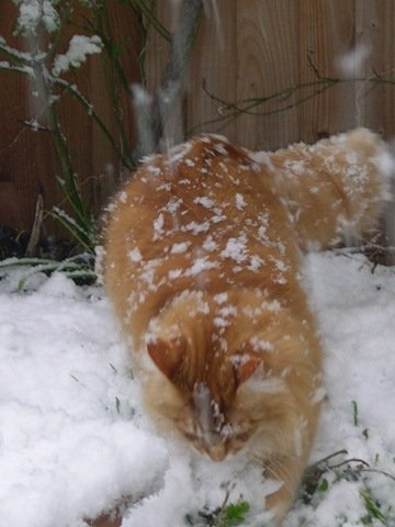 Long-haired ginger cat in the snow. Image courtesy of The Cat's Whiskers blog.