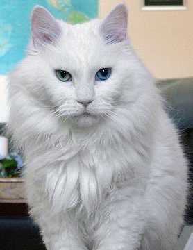 An odd-eyed (one blue eye and one green eye) white cat.