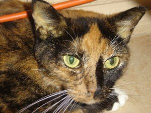 A tortoiseshell cat with jaundice