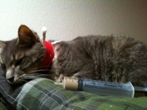 Can A Cat Get Hepatic Lipidosis Twice?