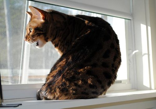 Bengal cat in window. Photo by JaneA Kelley