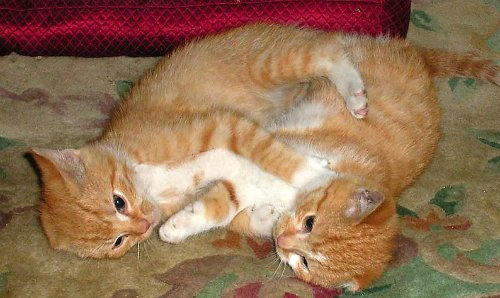 Two adolescent ginger kittens wrestling