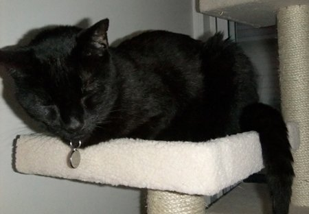 Siouxsie rests happily on the cat tower