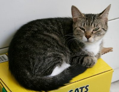Gray tabby cat sitting on top of a box of cat litter