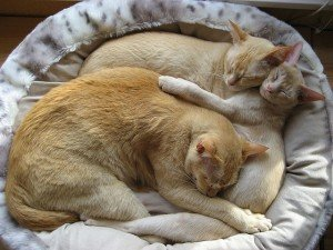 Three Oriental Shorthair cats snuggling (CC-BY-SA) by Earth68