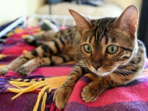 Bengal cat on fleece blanket