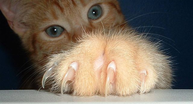 Cat&#039;s paw with claws extended
