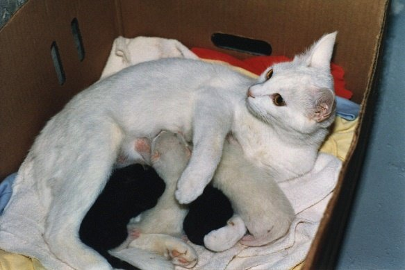 A mother cat nurses four kittens.