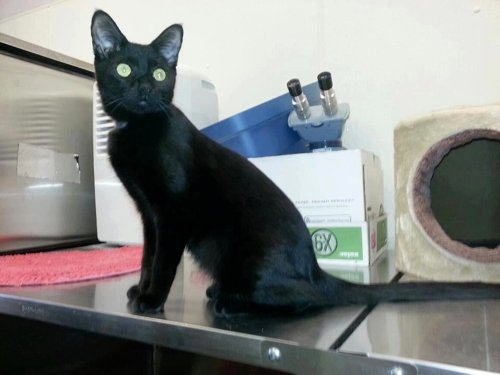 A black cat sits on top of a cage row at the shelter.