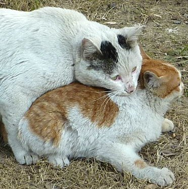 a pair of cats mating