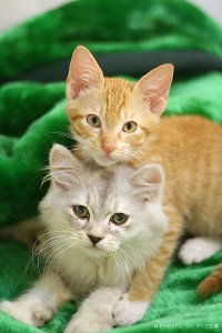 Kittens are adorable, but they can be a handful for an older cat. Two kittens, (CC-BY) by Flickr user Pietro Jr.