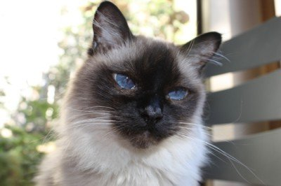 Long-haired seal point Siamese cat