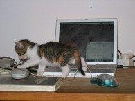 Kitten walking in front of laptop computer