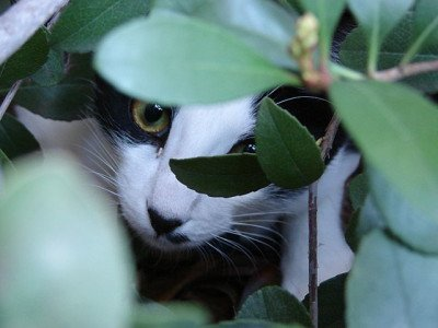 Tuxedo cat hiding in the bushes