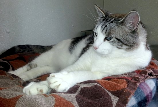 Linus, a white and gray tabby cat with blue eyes, sitting on a fleece bed