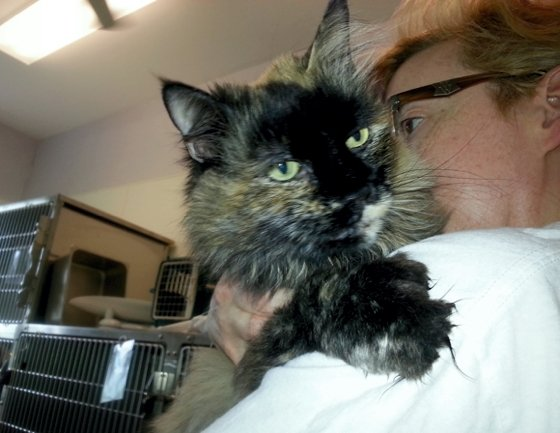 Wilma, a diabetic kitty at HART of Maine