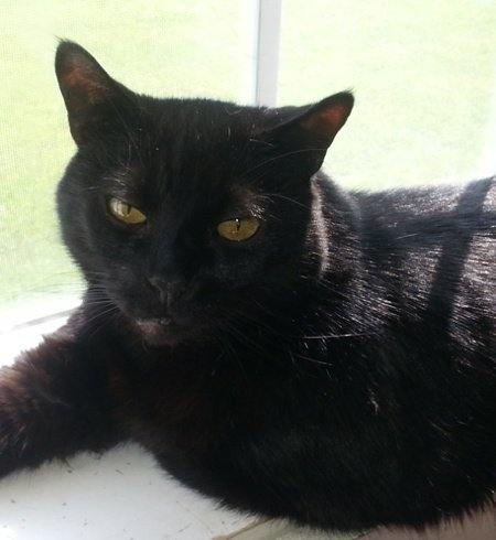 Angus, a black kitty, lounging in a sunny window
