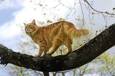 A long-haired orange tabby cat in a tree