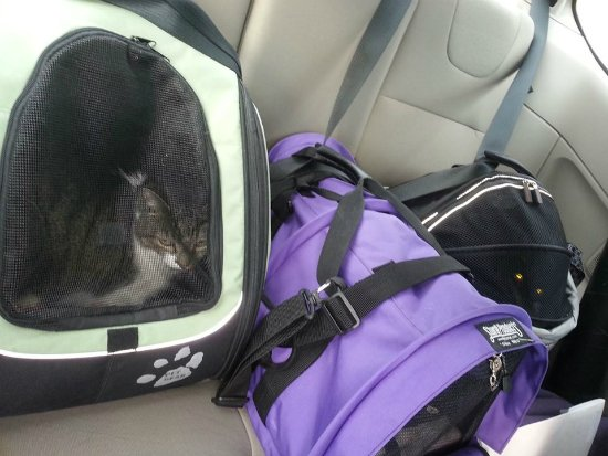 Thomas, Bella and Siouxsie in their carriers in the back seat of the car