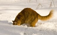 Long-haired ginger cat digging in the snow