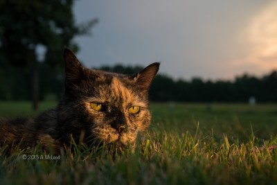 Sandy the cat. Photo COPYRIGHT by Ashley McLeod, used by permission of the artist. Please respect the artist's rights.