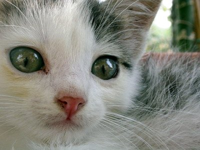 Young tabby and white kitten with green eyes