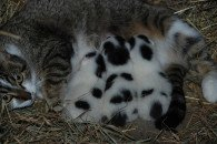 Mother cat and newborn kittens in a bed of hay, CC-BY hurricanemaine via Flickr