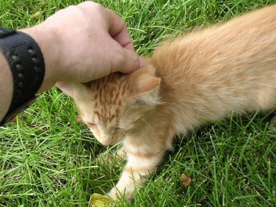 Man with leather wrist cuff stroking an orange tabby kitten