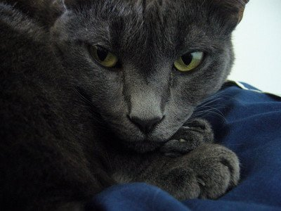 Annoyed gray cat, photo CC-BY-ND Julia Manzerova via Flickr