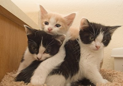 Three kittens, two black and white and one cream and white