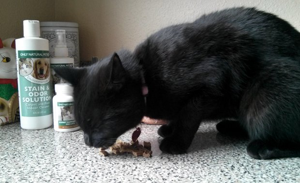 Bella snacks on some Only Natural Pet MaxMeat Air-Dried Chicken Cat Food
