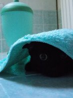 terrified black cat hiding under turquoise towel