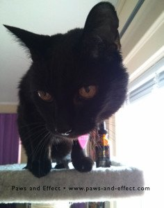 Siouxsie on top of the cat tree with a bottle of Revitamal