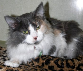 Longhaired dilute calico cat, CC-BY Rocky Mountain Feline Rescue via Flickr