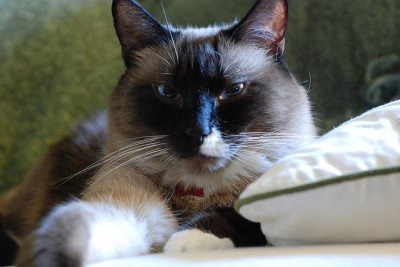 Snowshoe cat, CC-BY-SA Steve Voght