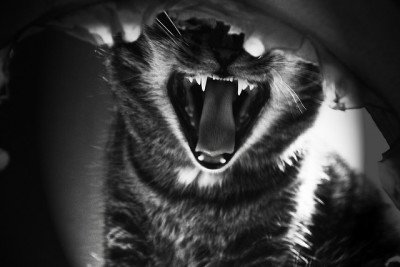 Growling, hissing cat