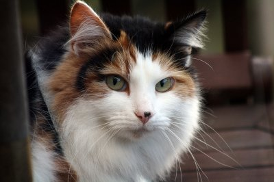 long-haired calico cat, CC-BY-SA Chris Isherwood