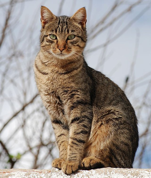 Brown tabby cat, CC-BY-SA Alvesgaspar