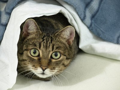 A cat hiding under blankets on a bed
