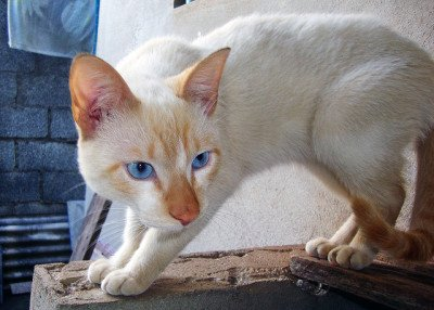 Scared flame-point Siamese cat