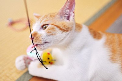 A white and orange cat playing with a toy
