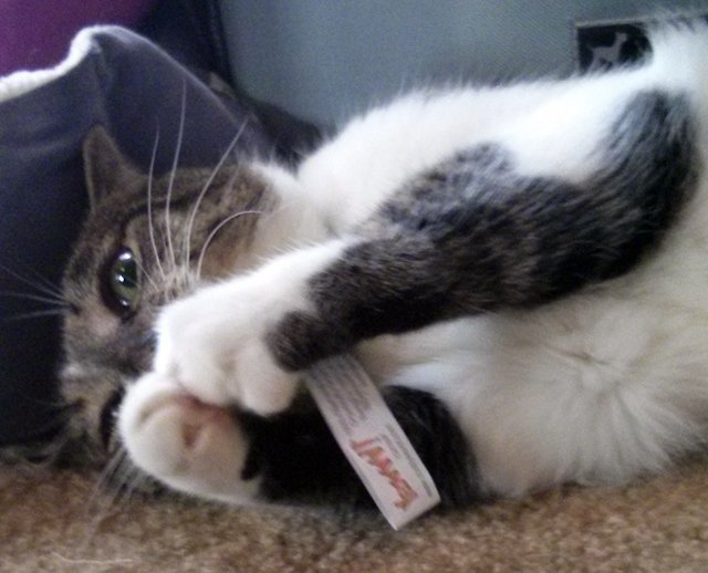 Thomas plays with a catnip toy
