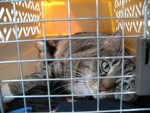 A tabby cat lies down in a plastic carrier. Photo taken through the wire carrier door.