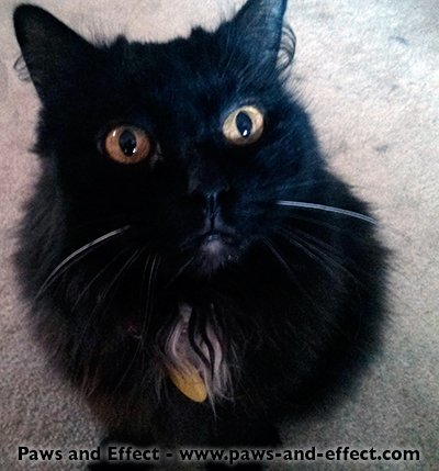"A long-haired black cat with a white ""locket"" stares up at the camera."