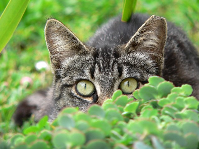 A shy tabby cat hides in the bushes